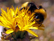 Bumble-Bee (Bombus terrestris) Stock Photography