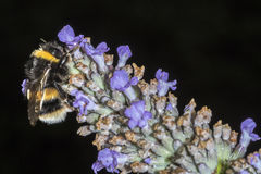 Bumble Bee (Bombus terrestris) feeding on a Lavender flower Royalty Free Stock Images