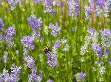 Bumble Bee (Bombus terrestris) on a Lavender Flower Royalty Free Stock Photography