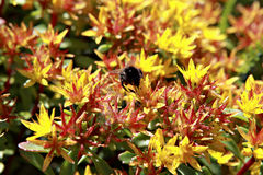 Bumble Bee on Bright Flowers Stock Images