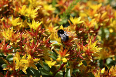 Bumble Bee on Bright Flowers Royalty Free Stock Image