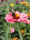 Bumble Bee. Flower zinnia garden insects nature royalty free stock image