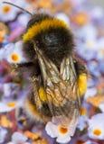 Bumble bee. / bumblebee macro wings on flower Stock Photo