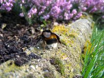 Bumble bee Royalty Free Stock Photos