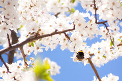 Bumble-bee on the bunches of cherry blossom with white flowers Royalty Free Stock Photo