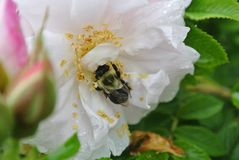 Bumble Bee buried in flower. Bumble Bee inside of white flower with raindrops on petals royalty free stock photos