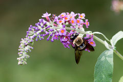 Bumble Bee on Butterfly Bush Stock Image