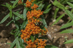Bumble Bee on Butterfly Weed. Bumblebee which is a member of the genus Bombus, part of Apidae on Butterfly weed. Butterfly weed is a species of milkweed with stock photo