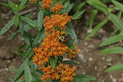Bumble Bee on Butterfly Weed. Bumblebee which is a member of the genus Bombus, part of Apidae on Butterfly weed. Butterfly weed is a species of milkweed with royalty free stock photo