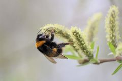 Bumble bee on catkin. Bumble bee catkin insect honey eating nectar background flower spring bokeh apidae stock image