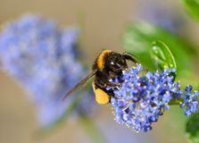 Bumble bee on ceanothus blossom Royalty Free Stock Photos