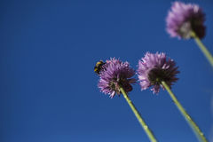 Bumble bee on chive Royalty Free Stock Photo
