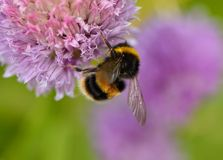 Bumble bee  on chives Stock Photography