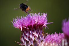Bumble bee Royalty Free Stock Images