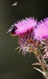 Bumble bee Royalty Free Stock Photos