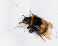 Bumble bee. Close up photo of a bumble bee Royalty Free Stock Photography
