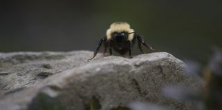 Bumble Bee Close-Up Royalty Free Stock Photo