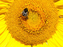 Bumble bee. Closeup of a bumble bee on a sunflower Royalty Free Stock Photos