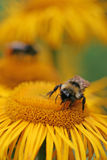 Bumble-bee collecting nectar. On an orange flower Stock Photo