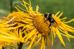 Bumble Bee collecting pollen. Stock Photo