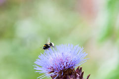 Bumble bee collecting pollen on a plant Royalty Free Stock Images