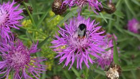 Bumble bee collecting pollen on purple flower stock video footage