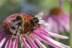 Bumble Bee collecting pollen from red flower royalty free stock photos