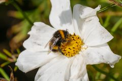 Bumble bee collecting pollen from a white and yellow flower in the summer. stock photo