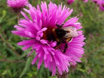 Bumble bee collects nectar on Astra Stock Photography