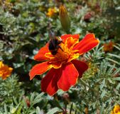 Bumble bee collects nectar from flower marigold Royalty Free Stock Photography