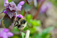 Bumble-bee Stock Photography