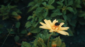 Bumble-bee collects nectar on yellow flower stock video footage
