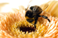 A bumble-bee collects pollen on. (shallow dof royalty free stock photos