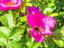 bumble bee collects pollen from flower of dog rose stock images