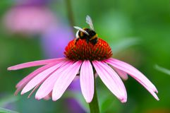 Bumble Bee on Coneflower. A fat bumble bee sitting on top of a pink coneflower Royalty Free Stock Photos