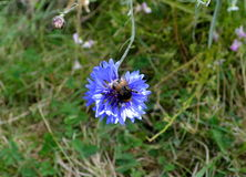 The bumble-bee on a corn- flower Stock Image