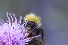 Bumble bee. And Creeping thistle Stock Photo