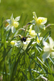 Bumble Bee on Daffodils Royalty Free Stock Photos