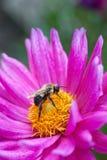 Bumble bee on dahlia blossom. Stock Photos