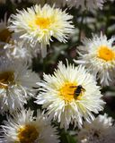 A bumble bee and daisies Royalty Free Stock Photo