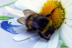 Bumble bee on a daisy Royalty Free Stock Photo