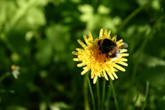 Bumble-bee on a dandelion Royalty Free Stock Photo