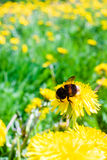 Bumble Bee On A Dandelion. The field was covered with dandelions. The bumble bees were very busy and did not even notice the photographer stock photography