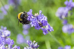 A bumble bee drinking nectar Stock Photo