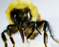 Bumble Bee Eating. A photo of a Bumble Bee eating some honey Royalty Free Stock Image