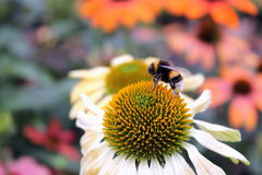 Bumble Bee on Echinacea flower Royalty Free Stock Images