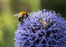 Bumble Bee on Echinops. Or Globe Thistle. Green Blurry Background royalty free stock photo