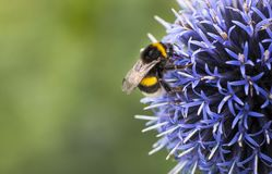 Bumble Bee on Echinops. Or Globe Thistle. Green Blurry Background. Copy Space royalty free stock image