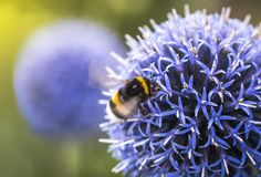 Bumble Bee on Echinops. Or Globe Thistle. Blurry Background. Copy Space stock image