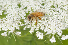Bumble Bee Enjoying a  Bloom of Queen Anne's Lace Royalty Free Stock Photos